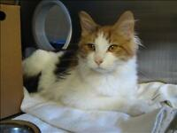 "Young Female Cat - Domestic Medium Hair: ""Missy"""