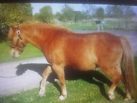 Friendly Chestnut - (Large Pony/Horse) Lots of Personality-9 yrs