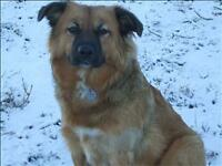 "Young Female Dog - Chow Chow-German Shepherd Dog: ""Goldy"""