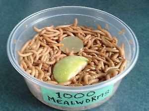 Live worms, Crickets for SALE by The Worm Lady. SUPER Specials Kitchener / Waterloo Kitchener Area image 5