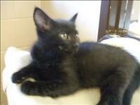 "Baby Female Cat - Domestic Short Hair: ""Cinder"""