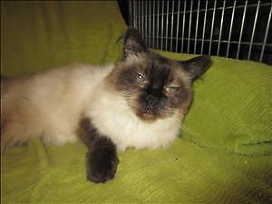 "Senior Female Cat - Siamese: ""Yeta"""