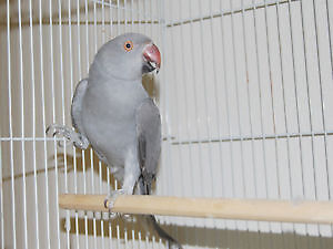Female Ringneck for sale! (NOT TAME)