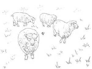 5 Dorset type sheep for sale