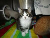"Baby Female Cat - Domestic Long Hair: ""Baby Spice"""