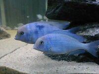 LARGE MALAWI CICHLIDS (HAPS)TROPICAL FISH