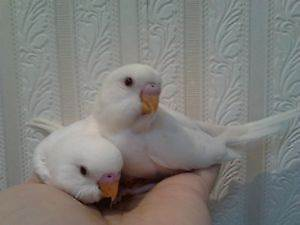 ~TAME Spoon Handraised Baby Budgies $50 EACH - TAKE YOUR PICK~ Kenwick Gosnells Area Preview