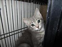 "Baby Female Cat - Domestic Short Hair: ""Snap"""