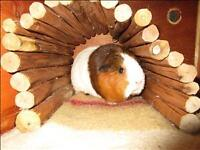 """Adult Female Small & Furry - Guinea Pig: """"Squeakers"""""""