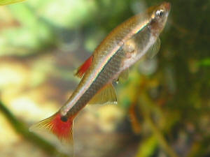 White cloud minnow for sale or trade for shrimps