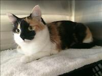 "Adult Female Cat - Domestic Short Hair: ""Sally"""