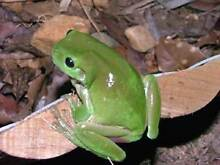 green tree frogs wanted Keilor East Moonee Valley Preview