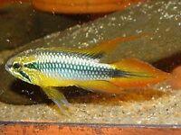 2 Agassizs dwarf cichlids 1 male 1 female
