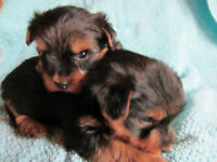 TINY SIZE TEACUP YORKIE PUPPIES Watch|Share |Print|Report Ad