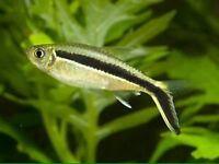 Community fish