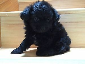 Black male and female poodles puppies