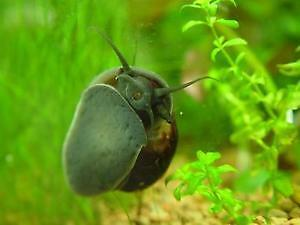 mystery snail for sale