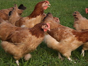 RHODE ISLAND RED HENS ,6 MONTH OLD ,CERTIFIED ORGANIC