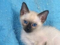 Wanted- Female Siamese Kitten Seal point or Chocolate point