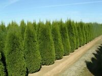 **Cedar Trees, Taxus Yews, Japanese Maple, Excelsa Direct from