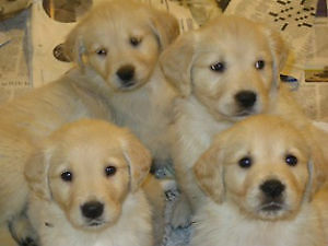 Beautiful Golden Retriever pups for sale NOW and Xmas