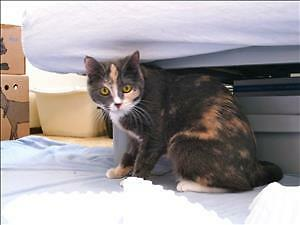 "Young Female Cat - Domestic Short Hair: ""Ruby"""