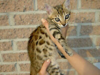 chattons bengal