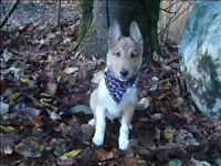 "Baby Male Dog - Collie: ""Kobe"""