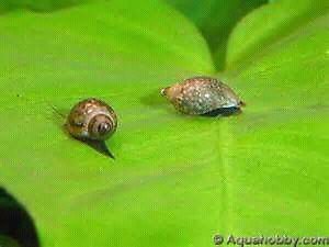 LOOKING FOR TADPOLE SNAILS (physa snails)