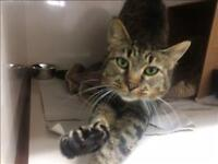 "Adult Female Cat - Domestic Short Hair: ""Stella"""