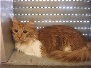 """Adult Male Cat - Maine Coon: """"Marmalade"""""""