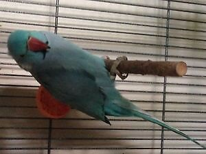 Blue 2 yr old male indian ringneck