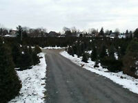 Thousands of Christmas Trees for Sale