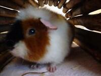 "Young Male Small & Furry - Guinea Pig: ""Muffin"""