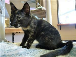"Baby Female Cat - Domestic Short Hair: ""Lacey"""