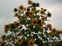 Seeds- Multi-Headed Sunflowers & more