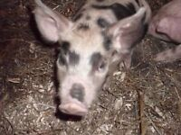 weaned purebred yorkshire pigs