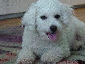 Looking for dogs siblings! Bichon Frise.