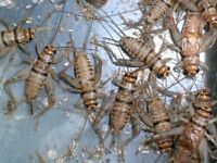 FEEDER INSECTS AVAILABLE AT LOW PRICES