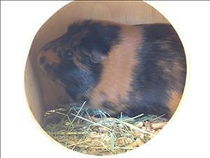"Adult Female Small & Furry - Guinea Pig: ""Chloe"""