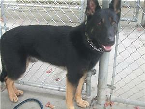 "Young Male Dog - German Shepherd Dog: ""Bear"""