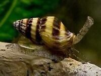 ASSASSIN SNAILS FOR TROPICAL FISH TANK- £2 EACH, OR 3 FOR £5 OR 7 FOR £10