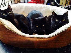 2 chatons noir recherchent de nouvelles familles !