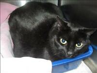 "Adult Female Cat - Domestic Short Hair: ""Storm"""