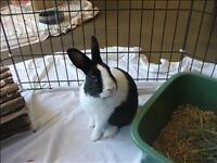 "Baby Male Rabbit - Dutch: ""Jesse"""