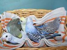 ~10 BABY BUDGIES - $50 EACH - ALL FULLY HANDRAISED~ Kenwick Gosnells Area Preview