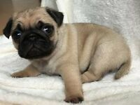 Beautiful and playful pedigree pug puppies for sale