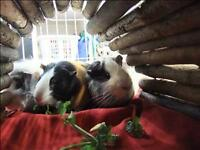 """Young Male Small & Furry - Guinea Pig: """"Norm"""""""