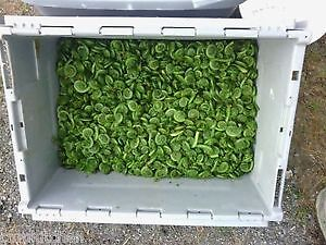 Taking Orders For Cleaned Fiddleheads For $2.50 Per Pound