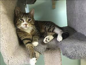 "Adult Male Cat - Domestic Short Hair: ""Frank"""